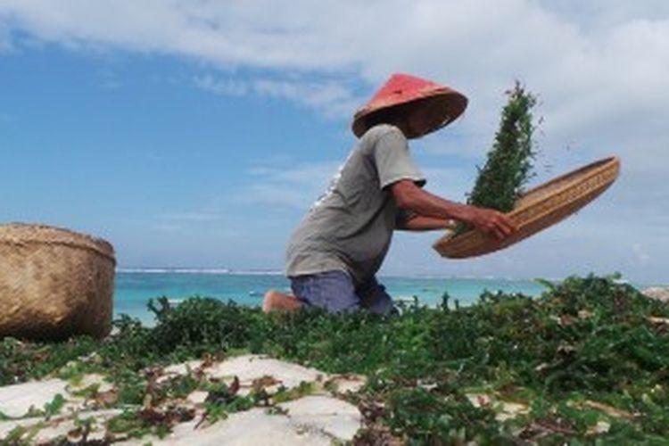 Seorang petani rumput laut di Pantai Pandawa, Desa Kutuh, Badung, Bali.