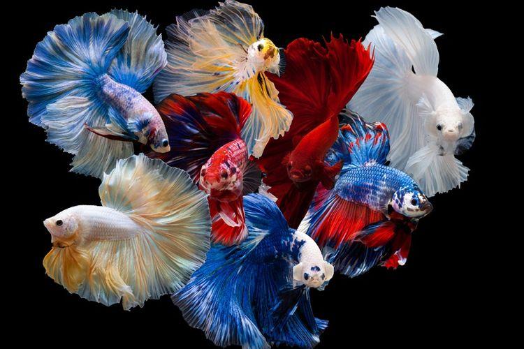 Ilustrasi varian ikan cupang (dok. Shutterstock panpilai paipa)