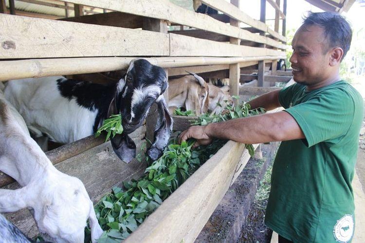 Mitra peternak Tebar Hewan Kurban (THK) Dompet Dhuafa, tengah mengecek kondisi hewan ternaknya sebagai upaya menjaga amanah para pekurban sekaligus perantara berbagi berkah daging kurban untuk sesama di Idul Adha nanti.