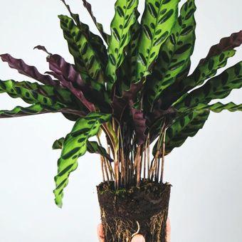 Ilustrasi tanaman hias Calathea Rattlesnake.