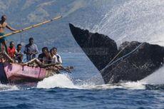 Delapan Nelayan Lamalera Hilang Terseret Ikan Paus