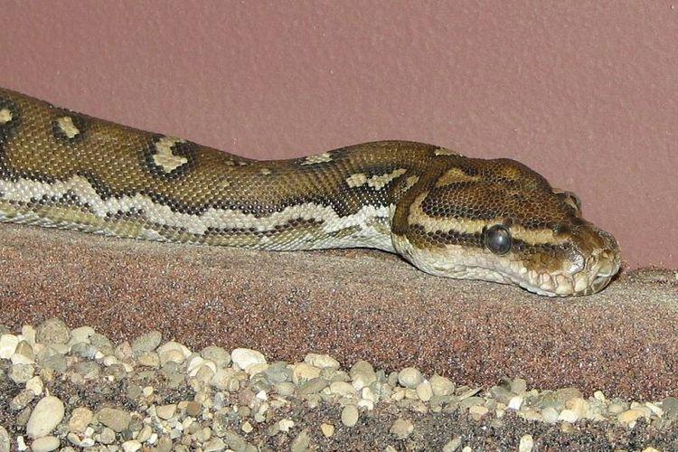 Ular piton angola (Python anchietae)