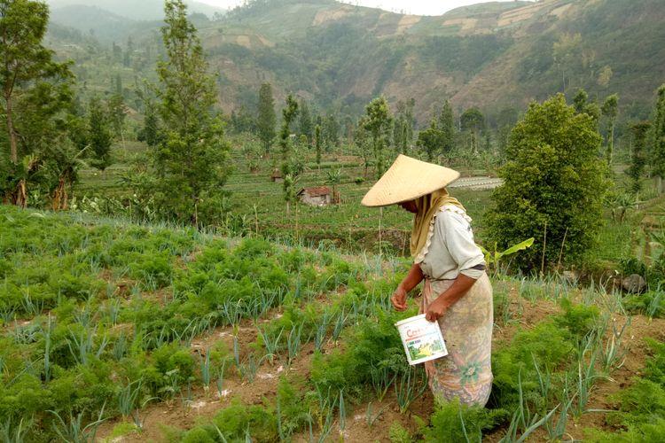 Seorang perempuan petani sedang menyebar pupuk, dan menyiangi tanaman daun bawang miliknya. Kebunnya tak jauh dari kebun petani sayur mayur, Mpud di Desa Arga Mukti, Kecamatan Argapura, Majalengka, Jawa Barat.