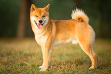Kenalan Sama Shiba Inu, Anjing Asli Jepang yang Jadi Lambang Dogecoin