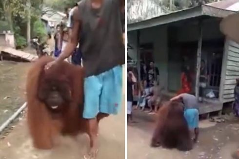 Viral, Video Orangutan Diselamatkan Warga, Ini Update Terbarunya