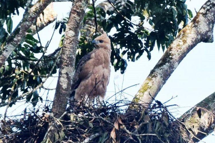 Seekor anakan Burung Garuda alias Elang Jawa terpantau di dalam kawasan Taman Nasional Gunung Gede Pangrango (TNGGP) Jawa Barat, Senin (01/07/2019). Ini adalah temuan kedua di tahun ini terkait aktivitas hewan paling dilindungi itu.