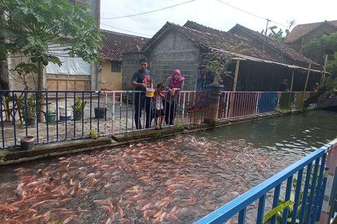 Di Yogyakarta, Saluran Irigasi Penuh Sampah Diubah Jadi Habitat Ikan, Hasilkan Rp 48 Juta Per Panen