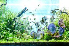 Mengapa Memelihara Ikan Hias Dapat Menghilangkan Stres?