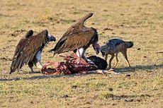 537 Burung Bangkai Mati Keracunan setelah Memakan Bangkai Gajah