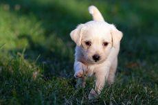 5 Alasan Anak Anjing Baik untuk Dijadikan Hewan Peliharaan
