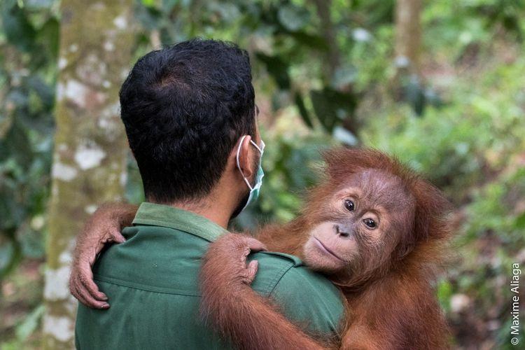 Seseorang petugas menggendong orangutan sumatera (Pongo abelii) di Pusat Karantina Orangutan Sumatera di Batu Mbelin, Kecamatan Sibolangit, Deli Serdang. Aktor Hollywood dan pegiat lingkungan internasional, Leonardo Di Caprio memberikan dukungan dalam upaya perlindungan orangutan sumatera (Pongo abelii) dari ancaman Covid-19. Dukungan itu dilakukannya dengan mengunggah kampanye crowd funding Sumateran Orangutan Conservation Programme (SOCP) yang berbasis di Medan, Sumatera Utara.