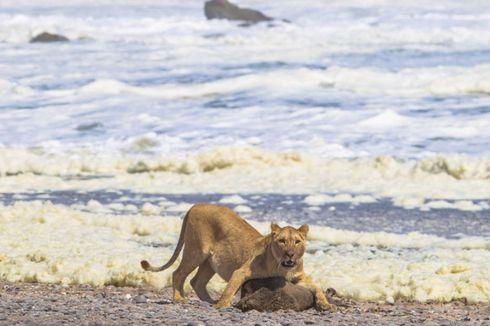 Menu Makanan Baru, Singa Gurun Terekam Santap Hewan Laut