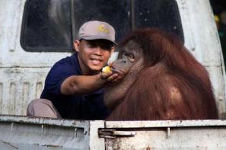 Seekor orang utan sedang dipindahkan oleh petugas Kebun Binatang Surabaya (KBS) menggunakan mobil bak terbuka, untuk dimasukkan kedalam kandang angkut binatang, Selasa (4/6/2013). Rencanaya sejumlah hewan koleksi KBS seperti tiga ekor Gajah, empat ekor Komodo, delapan ekor Jalak Bali, lima ekor Kambing Gunung, 30 ekor Pelikan, dua ekor Kuda Nil Mini, tiga ekor Sitanunga, dua ekor Orang Hutan, dua ekor Kera Sulawesi, empat ekor Iguana, lima ekor Bekantan, empat ekor Pecu Kepala Hitam dan delapan ekor Ibis Putih akan dipindah ke Taman Mirah Fantasi Banyuwangi. Komodo dan Jalak Bali juga akan dikirim setelah mendapatkan surat dari presiden terkait hewan langka yang dilindungi. SURYA/ERFAN HAZRANSYAH