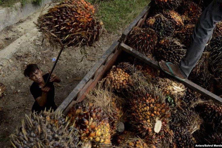 Seorang pekerja memuat buah sawit di perkebunan kelapa sawit di Kabupaten Mamuju Utara, Provinsi Sulawesi Barat