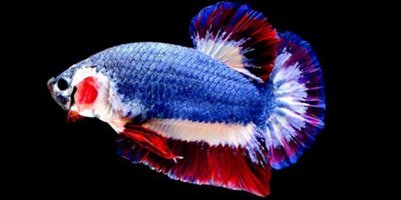 Ikan Cupang Termahal Di Dunia Laku Rp 20 Juta