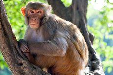 Kamasutra Satwa: Monyet Jantan Perhatikan Wajah Betina Sebelum Kawin