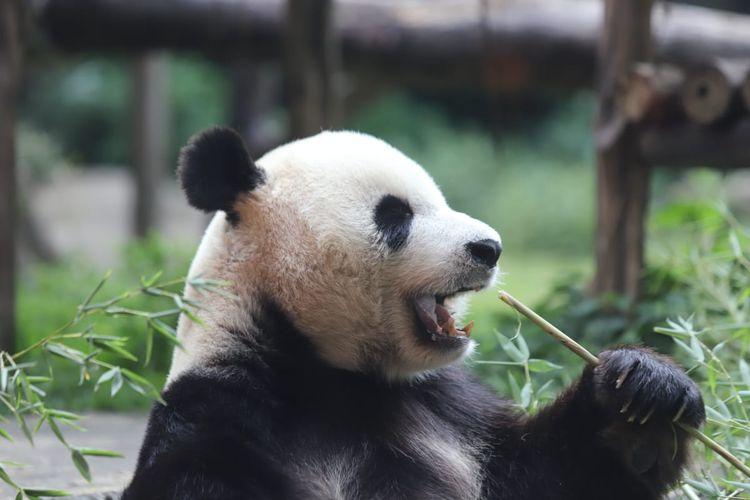 Panda di Taman Safari Bogor