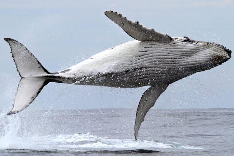 Selain dapat berenang dengan hiu paus, para pelancong juga bisa menyaksikan atraksi dari paus bungkuk bahkan berenang bersamanya.