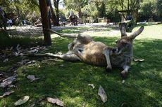 Lihat Tingkah Lucu dan Pose Seksi Kanguru di Caversham, Bikin Gemas!