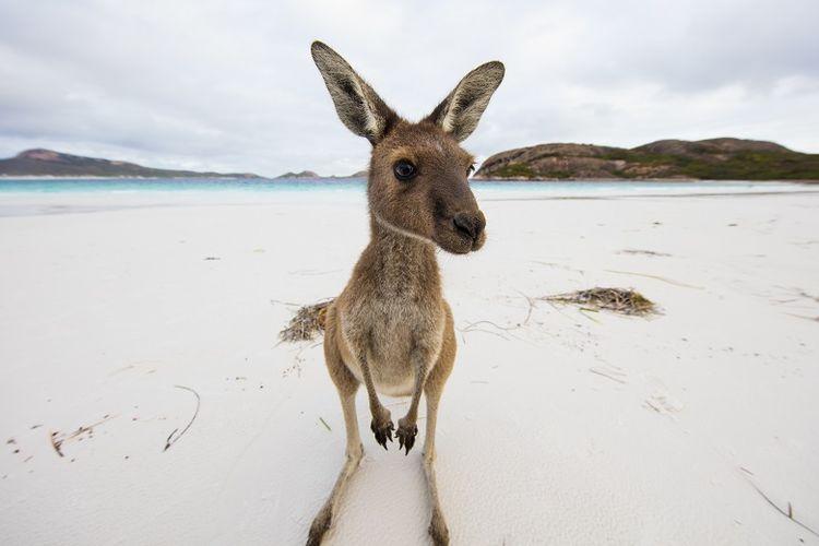 Kanguru yang berkeliaran bebas di tepi Lucky Bay, Cape le Grand National Park, Western Australia