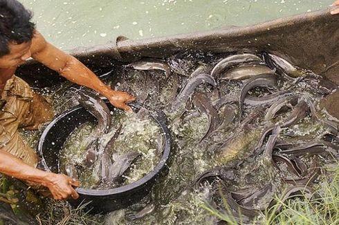 Saat Sampah Sisa Makanan Bisa Ditukarkan dengan Ikan Lele. . .