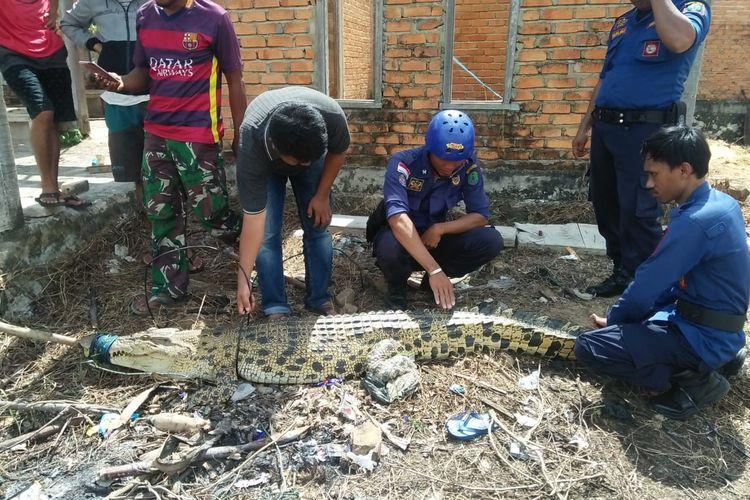 Ilustrasi : salah satu buaya yang diamankan Dinas Pemadam Kebakaran Nunukan Kaltara, buaya sering naik ke darat dan mencari makan di dekat pemukiman penduduk