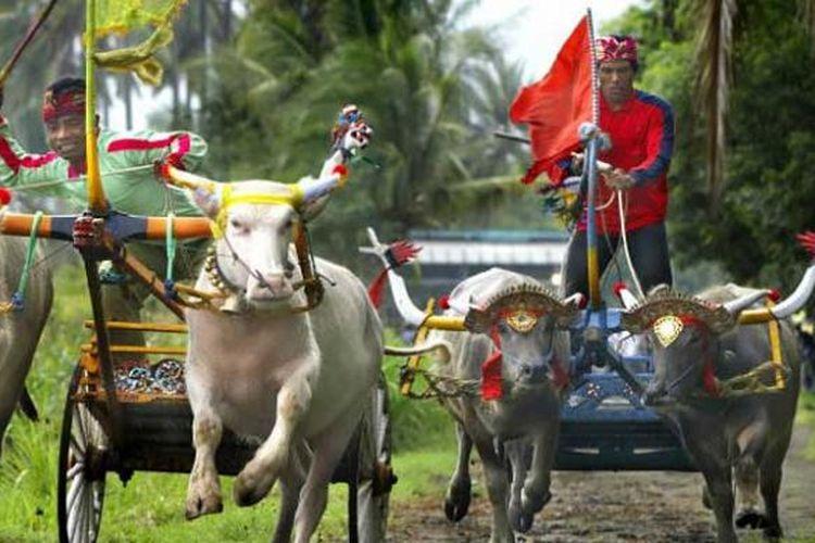 Balap kerbau atau makepung di Kabupaten Jembrana, Bali.