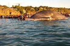 Bangkai Paus 1 Ton yang Terdampar di Pantai Kupang Tiba-tiba Menghilang