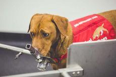 Bukti Lain Keandalan Penciuman Anjing, Mampu Deteksi Kanker Prostat