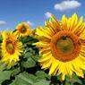 Selain Kuning, Bunga Matahari Ada yang Cokelat, Ini Cara Merawatnya