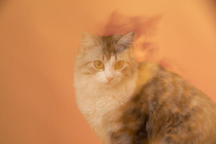 Kucing memiliki sembilan nyawa, mitos atau fakta?