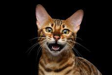 Kenapa Kucing Kerap Menjulurkan Lidah Seperti Anjing?