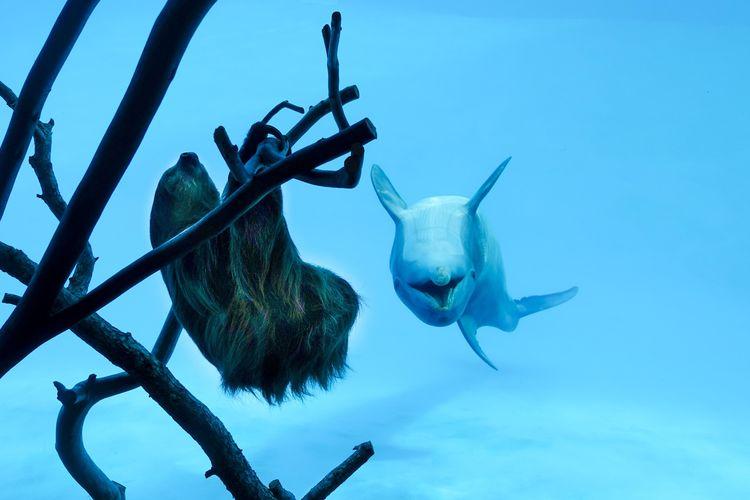 Lumba-lumba Texas State Aquarium bertemu kukang.