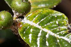 Cara Basmi Hama Kutu Putih pada Tanaman Cabai Pakai Pestisida Alami