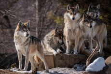 Serigala di Yellowstone Bikin Kawanan Rusa Jadi Lebih Tangguh, Kok Bisa?