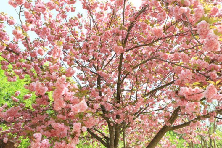 Jeju Cherry Blossom Festival di gerbang masuk Jeju National Univ, Jeonnong-ro, Jangjeon-ri, Puau Jeju, Korea Selatan.
