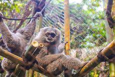 Menuju Kepunahan, Sepasang Owa Jawa Masuk Habituasi di Lereng Gunung Puntang