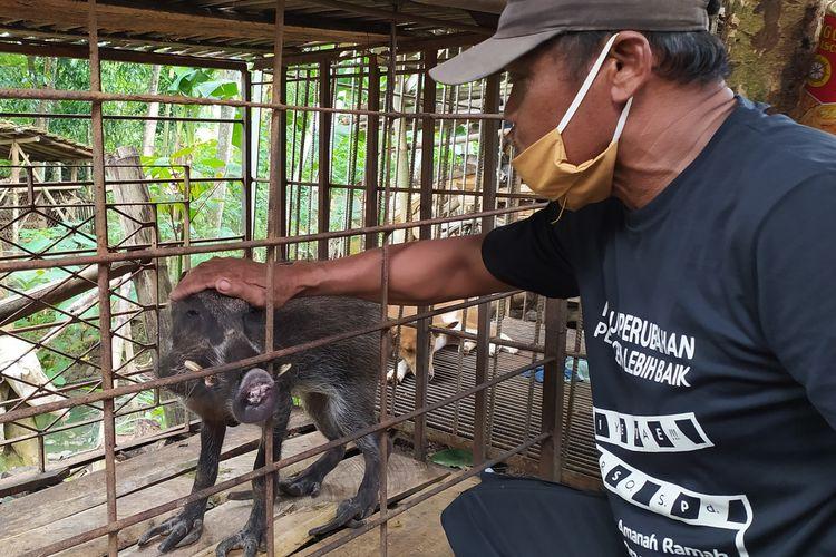 Babi berkaki aneh di Desa Pekuncen, Kecamatan Jatilawang, Kabupaten Banyumas, Jawa Tengah, Senin (15/6/2020).