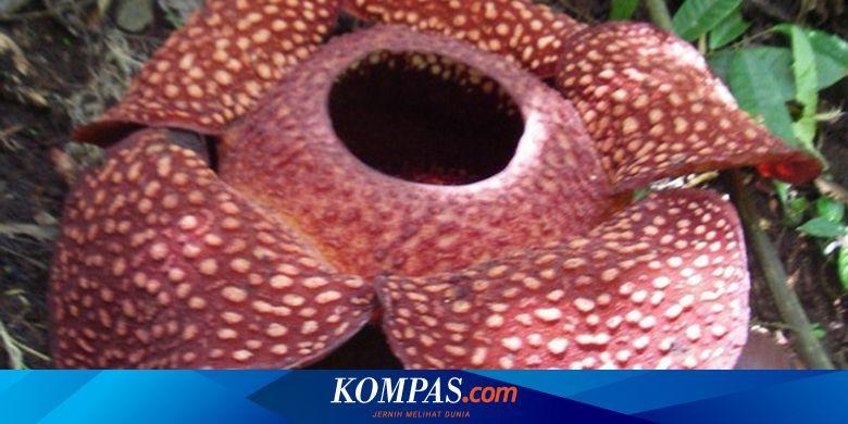 Sejarah Penemuan Bunga Rafflesia Arnoldii Begini Ceritanya Halaman All Kompas Com