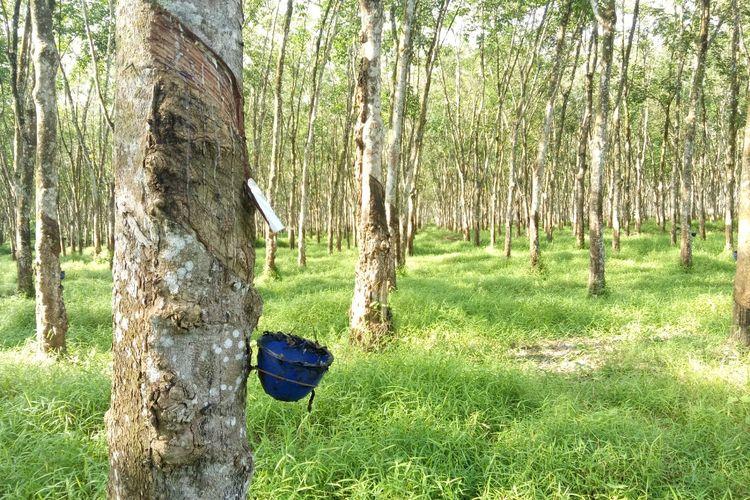 Pohon karet