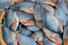 3 Cara Bedakan Ikan Bawal Air Laut dan Air Tawar, Amati Warnanya