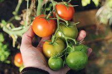 Cara Membasmi Hama Tanaman Tomat dengan Sabun Cuci Piring
