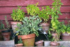 Banyak Diteliti, Inilah 6 Tanaman Herbal Paling Ampuh Menurut Sains