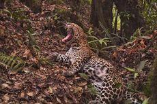 Hitung Populasi Macan Tutul Jawa, BBKSDA Pasang 8 Kamera Trap di Pulau Sempu