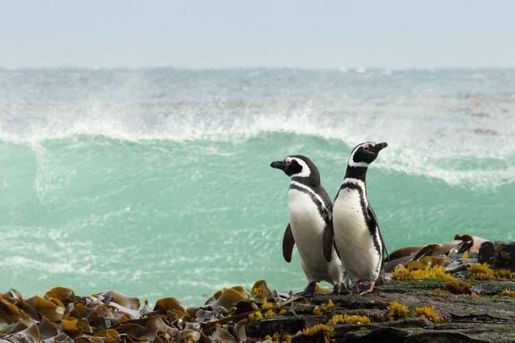Ilustrasi penguin Magellan.