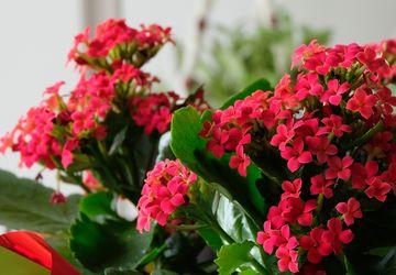Cara Menanam Bunga Kalanchoe agar Subur dan Sehat