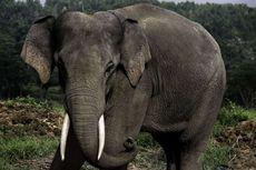 Unik, Tenyata Seekor Gajah Bisa Melahap 150 Kg Pakan dalam Sehari, Kok Bisa?