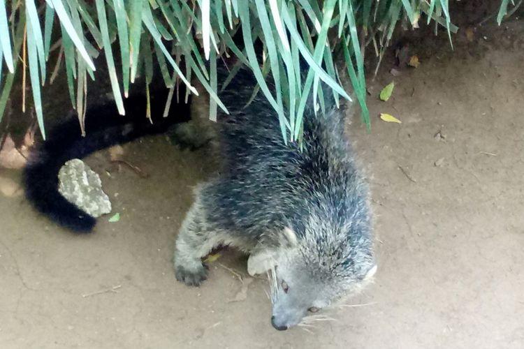 salah satu ekor binturong koleksi Bandung zoo.