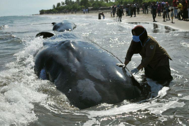 Dokter Kesehatan Hewan Balai Konservasi Sumber Daya Alam (BKSDA) Aceh memeriksa salah satu dari empat ekor paus yang mati pascaterdampar di Pantai Desa Durung, Kecamatan Masjid Raya, Kabupaten Aceh Besar, Aceh, Selasa (14/11/2017). Sebanyak empat ekor ikan paus mati menjadi tontotan warga meskipun petugas Kesehatan Balai Konservasi Sumber Daya Alam (BKSDA) bersama aparat keamanan setempat telah memasang garis polisi sebagai larangan memasuki lokasi bangkai ikan tersebut karena dikhawatirkan menularkan penyakit berbahaya. Sementara itu enam ikan paus lainnya berhasil diselamatkan ke perairan lepas.