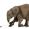 Apakah Benar Gajah Takut Tikus?